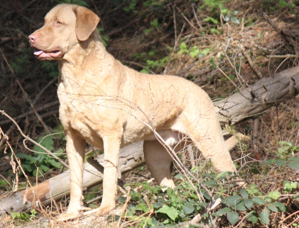 WD/-X/-Q für Chesapeake Bay Retriever am 27.09.2015